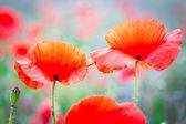 Flores flor amapola — Foto de Stock