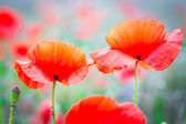 Blossom poppy flowers — Stock Photo