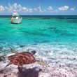 Green turtle in Caribbean Sea scenery — Stock Photo #13548217