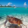 Green turtle in Caribbean Sea scenery — Stock Photo #13548289