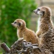 Meerkats in the zoo — Stock Photo