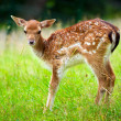Young roe deer — Stock fotografie #13548948