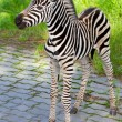 New born baby zebra — Stock Photo