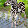 New born baby zebra — Stockfoto