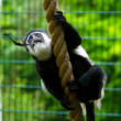 Stock Photo: White cheeked gibbon