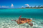 Green turtle in Caribbean Sea scenery — Foto de Stock