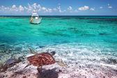 Soepschildpad in caribische zee landschap — Stockfoto
