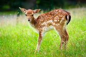 Young roe deer — 图库照片