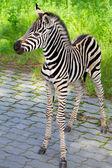 New born baby zebra — Stock Photo