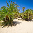 Cretan Date palm trees on idyllic Vai Beach — Stock Photo #13551998