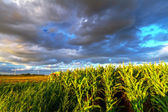 Field of corn with stormy clouds — Stock Photo