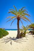 Cretan Date palm tree on idyllic Vai Beach — Stock Photo