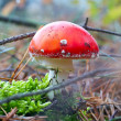Red spotted toadstool — Stock Photo
