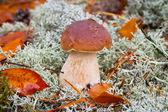 Boletus edulis mushroom — Stock Photo