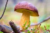 Boletus badius mushroom — Stock Photo