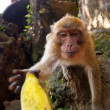 Stock Photo: Macaque monkey taking bananfruit