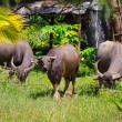 Stock Photo: Buffalo in wildlife