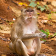 Macaque monkey in wildlife — Stock Photo