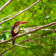White-throated Kingfisher bird - Stock Photo