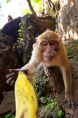 Macaque monkey taking banana fruit — Stock Photo