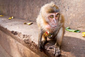 Macaque monkey eating lychee fruit — Stockfoto