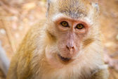 Macaque monkey in wildlife — 图库照片