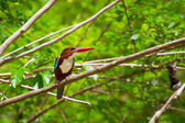 White-throated Kingfisher bird — Stock Photo