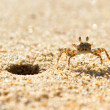 Small sea crab on the beach — Stock Photo