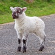 Irish baby lamb — Stock Photo