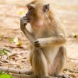 Foto de Stock  : Macaque monkey in widelife