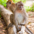 Foto Stock: Macaque monkey in widelife