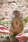 Macaque monkey in widelife — 图库照片