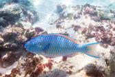 Poisson perroquet bleu dans l'eau de mer d'andaman — Photo
