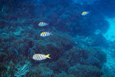 Fishes underwater in Andaman Sea — Stock Photo