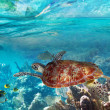 Green turtle in the tropical water — Stok fotoğraf