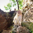 Macaque monkey in Thailand — Stockfoto #21232159