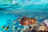Green turtle in the tropical water — Stock Photo