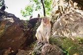 猕猴在泰国μακάκος μαϊμού στην ταϊλάνδη — 图库照片