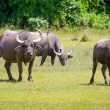 Buffalo in wildlife — Stock Photo