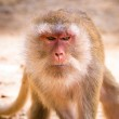 Macaque monkey in wildlife — Stock Photo #21906391