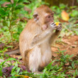 Macaque monkey in wildlife — Stock Photo #21906487