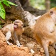 Macaque monkey in wildlife — Stockfoto #21906531