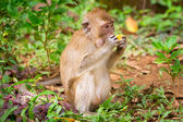 Macaque monkey in wildlife — Stockfoto