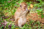 野生动物猕猴 — 图库照片