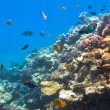 Coral reef of Red Sea with tropical fishes — Stock Photo