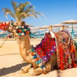 Camel resting in shadow on beach of Hurghada — Zdjęcie stockowe #24934699