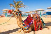 Camello descansando en la sombra en la playa de hurghada — Foto de Stock