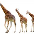 Giraffes family — Stock Photo #25018091