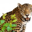 Stock Photo: Wild jaguar