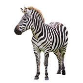 Black and white zebra — Foto Stock